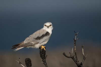 Black-shouldered kite_1
